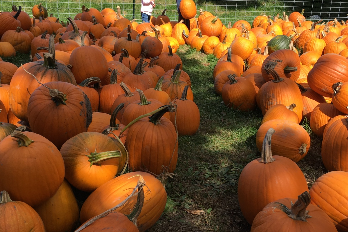 Just a glimpse of the pumpkin selection at Pigeon Roost Farm.